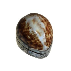 4 Cajas grande concha cowrie